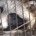 Fur farm releases in China reflect falling fur demand worldwide