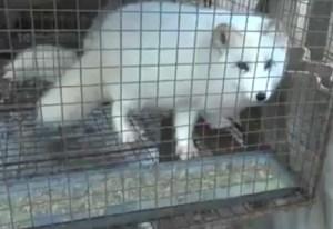 Farmed fox in China. (Humane Society Intl.)