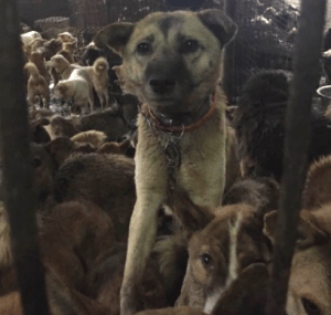 More dogs rescued from meat trade. (Animals Asia Foundation photo)