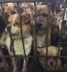 Dogs rescued from meat trade. (Animals Asia Foundation)