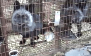 Hoazi on fur farm. (Humane Society Intl. photo)