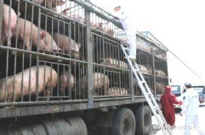 Pigs en route to slaughter in China.
