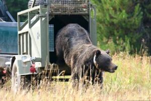 """""""Problem"""" grizzly being relocated deeper into wild habitat. (U.S. Fish & Wildlife Service photo)"""