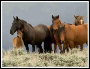 (Pine Nut Wild Horse Advocates photo)