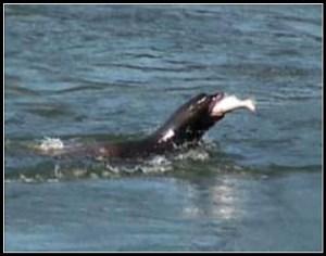 Sea lion eats a salmon. (NOAA photo)
