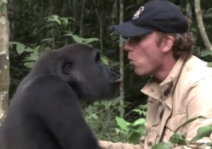 British zoo owner Damien Aspinall, shown with a gorilla, tried to release six captive-bred gorillas in the wild in 2015. Five were soon killed by other gorillas; one went missing. (From YouTube video)