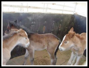 Foals. (KBR Horse Rescue photo)