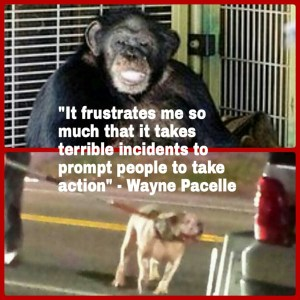 The chimp who mauled Charla Nash,  HSUS president Wayne Pacelle's statement about it,  & pit bull who mauled woman in New Haven, Connecticut.   (Beth Clifton collage)