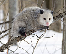 Opossum. (Wikipedia photo)