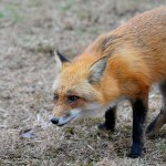 """Louisiana House says """"fox pen hunting is part of the folklife heritage of the state,  and as such,  should be preserved"""""""