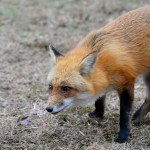 "Louisiana House says ""fox pen hunting is part of the folklife heritage of the state,  and as such,  should be preserved"""