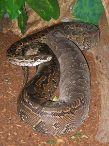 Burmese python. (Wikipedia photo)