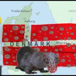 Mink ranching survives in Denmark despite risky COVID-19 mutation