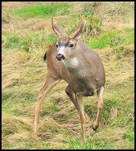 A buck deer in the front yard