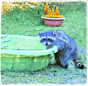 A wild raccoon plays in a kiddie pool