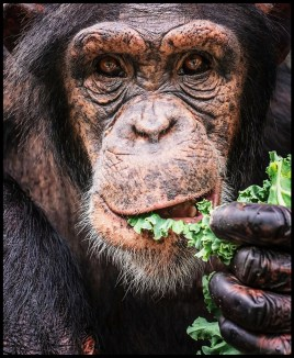 Chimpanzee eating lettuce