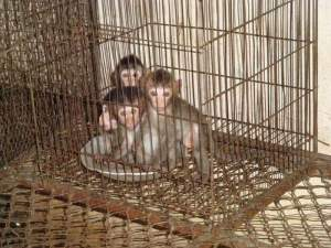 Young macaques await sale in Cambodia. (British Union Against Vivisection photo)