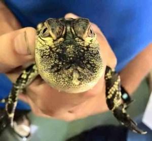 Rescued baby alligator.  (Greg Robbins photo)