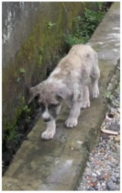 Bali pup foraging along a gutter.