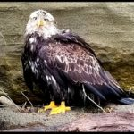 What would you give to save an eagle?