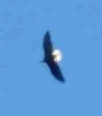 Bald eagle.  (Beth Clifton)