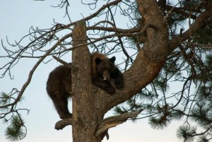 Black bear up a tree. (Larry Caine photo)