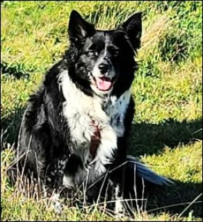 Border collie sitting