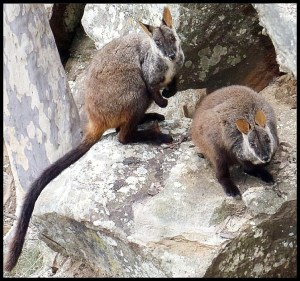 Brush-tailed Rock -Wallabies