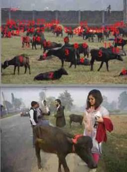Buffalo in Bara