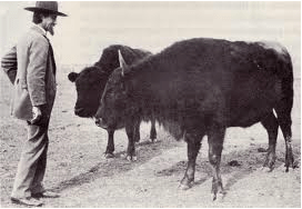 "CJ ""Buffalo"" Jones, an early 20th century cattle breeder who was instrumental in conserving bison, with two the bison/cattle mixes he called cattalo."