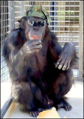 Caleb the chimpanzee
