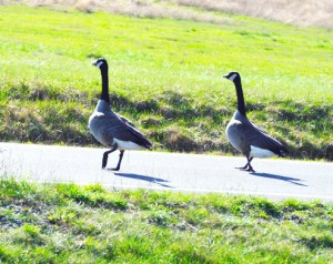 Non-migratory Canada geese,  though a seemingly likely vector,  have not yet been implicated in the spread of HPAI.  (Beth Clifton photo)