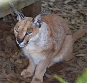 Caracal at Big Cat Rescue