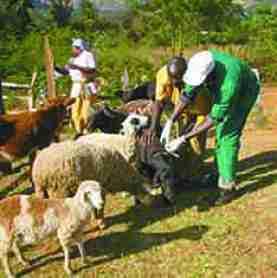 Livestock vaccination in Kenya. (Africa Network for Animal Welfare photo)