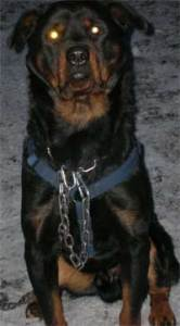 Chained Rottweiler.