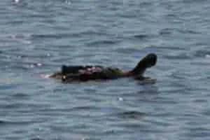 Cormorant.  (Beth Clifton photo)