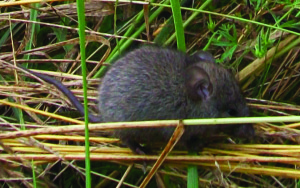 "Creeping vole––neither ""threatened"" nor ""endangered,"" but rare. (MC)"