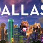 "Dallas:  dog attacks soar as ""live release rate"" climbs"