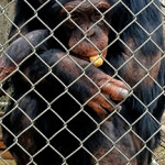 Lab chimp retirement upstages steep rise in monkey use