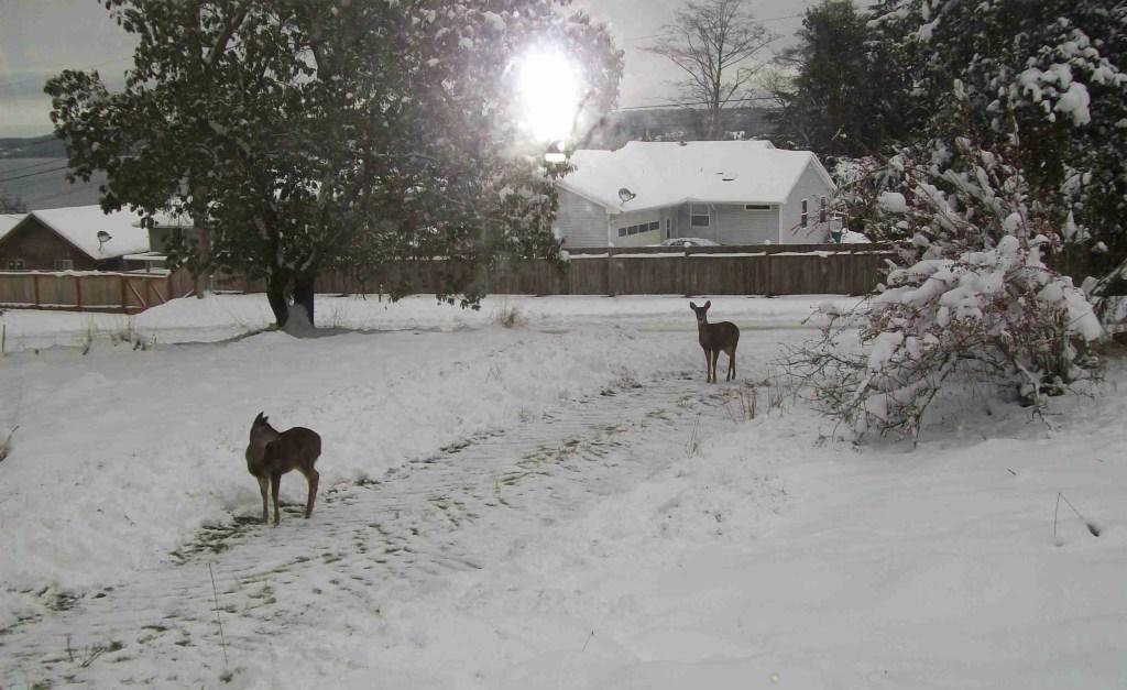 Deer in snow.  (M.C.)