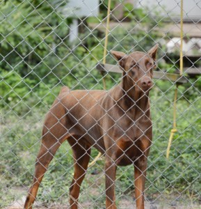 Chain link fencing is no protection at all against a virus. (Beth Clifton photo)
