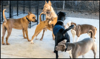 Dogs playing in an enclosure at a shelter.
