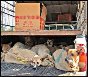 Dogs rescued from smugglers by Soi Dog Foundation
