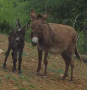 Two donkeys shortly before they were mauled by a pit bull.  (KS photo)