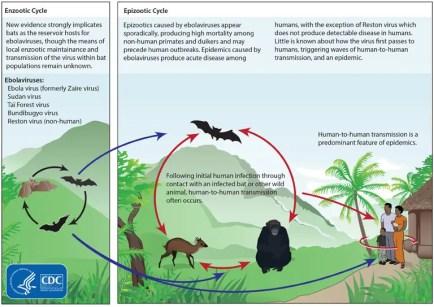 Ebola cycle