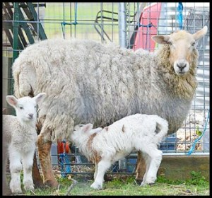 Ewe sheep with lambs