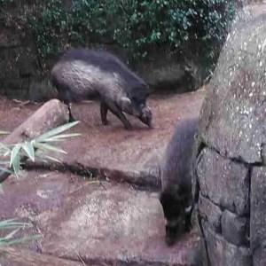 Warthogs (Trish Conner photo)