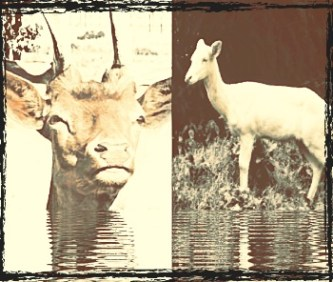 Fallow and axis deer collage