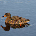 High pathogenic avian flu hits U.S. through backyard flocks