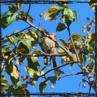 Finch bird in an apple tree